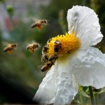 bees love matilija poppies